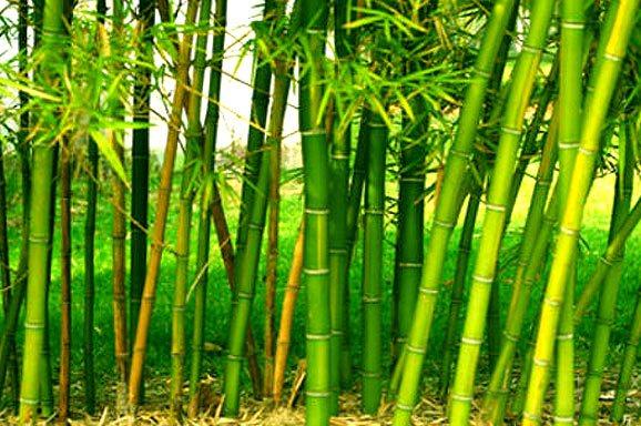 Bamboo-Farming